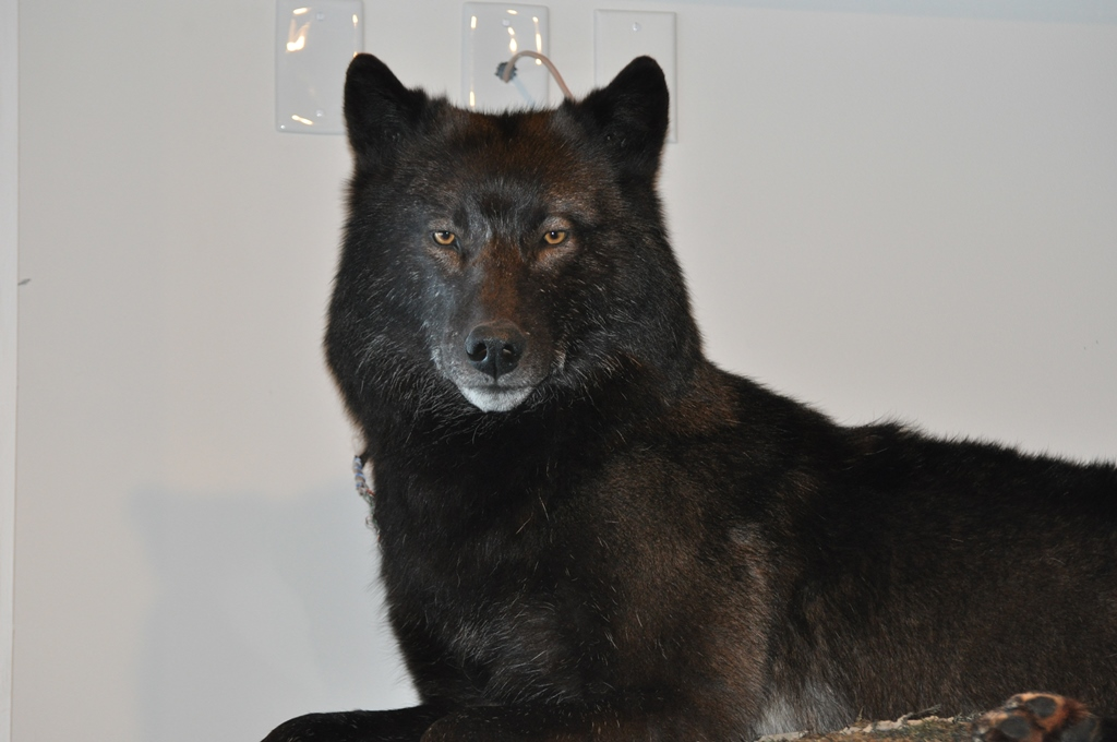 Black wolf closeup