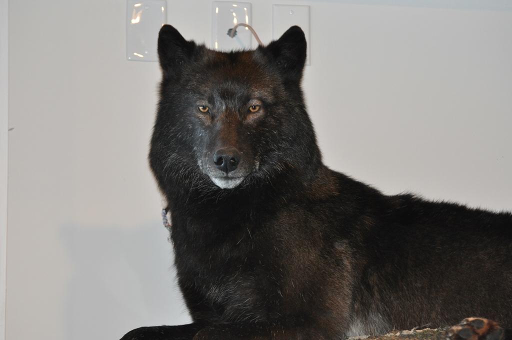 Black wolf closeup